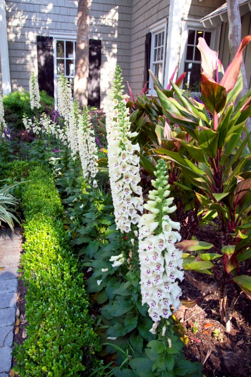 Foxgloves in a Row